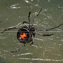 Large black widow spider is photographed on a web from the underside to display the red hourglass marking.