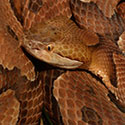 Copperhead Snake